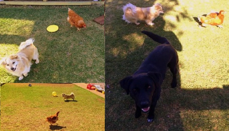 Holly-Brooks-dogs-with-chickens