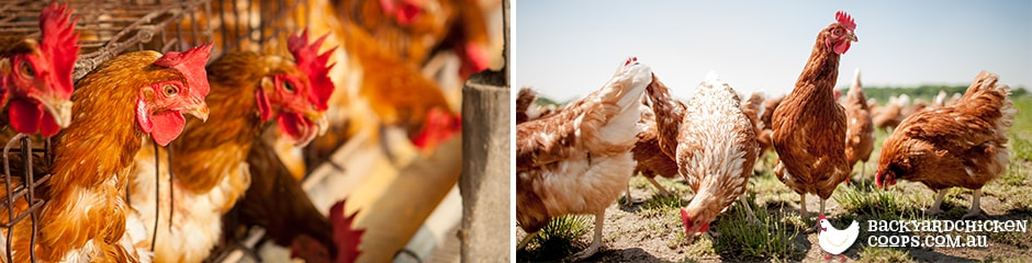 adopt-ex-battery-hens-to-love-your-chickens