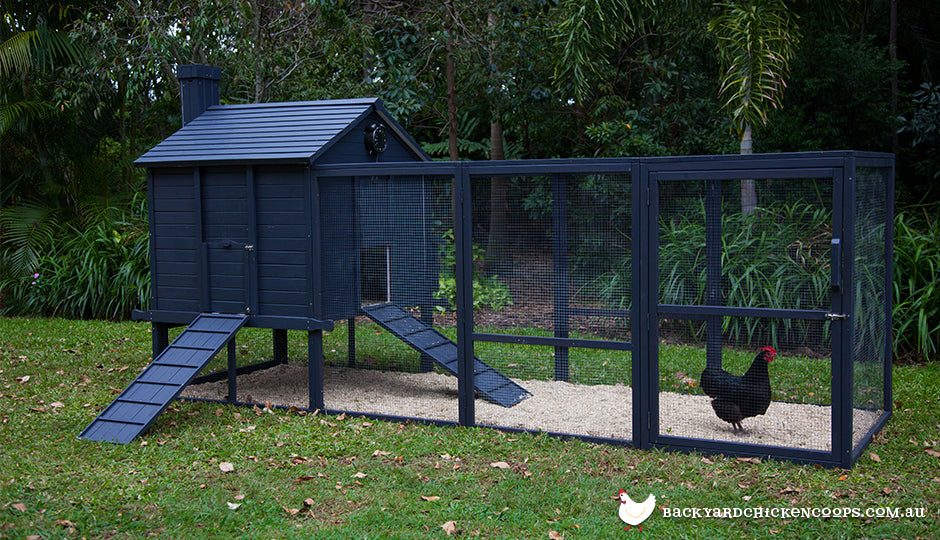 australorp bantam chicken in backyard chicken coop run