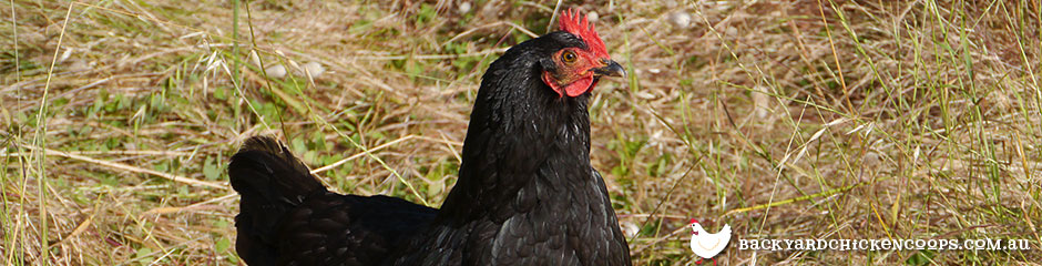 australorp-chickens-are-calm-and-perfect-for-families