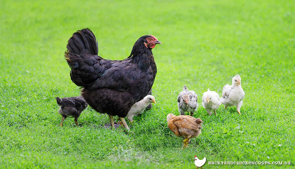 australorp-chickens-have-good-mothering-instincts