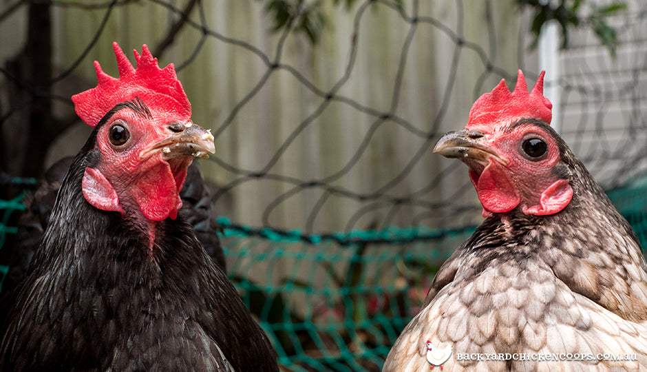 cute and friendly backyard chickens