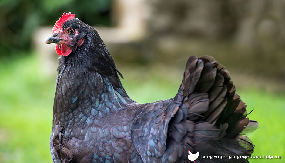 All About Australorp C...