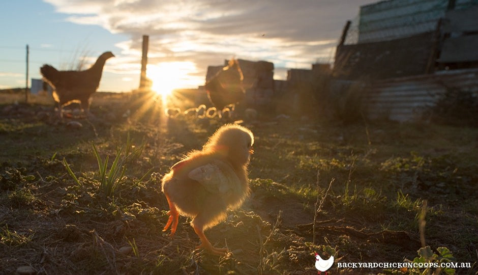 baby-chick-returning-to-coop-at-sunset