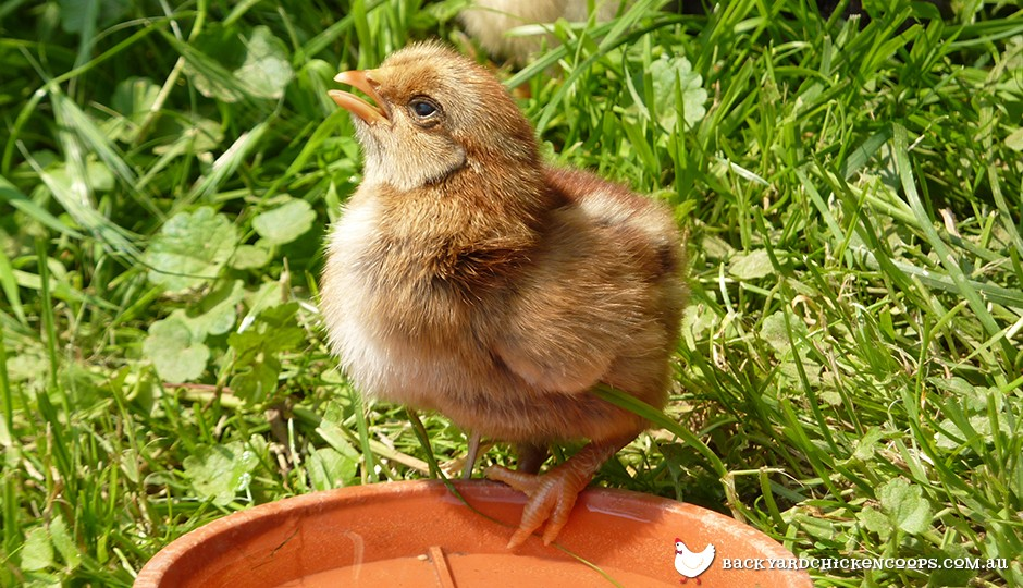 Baby chicken drinking water from dish