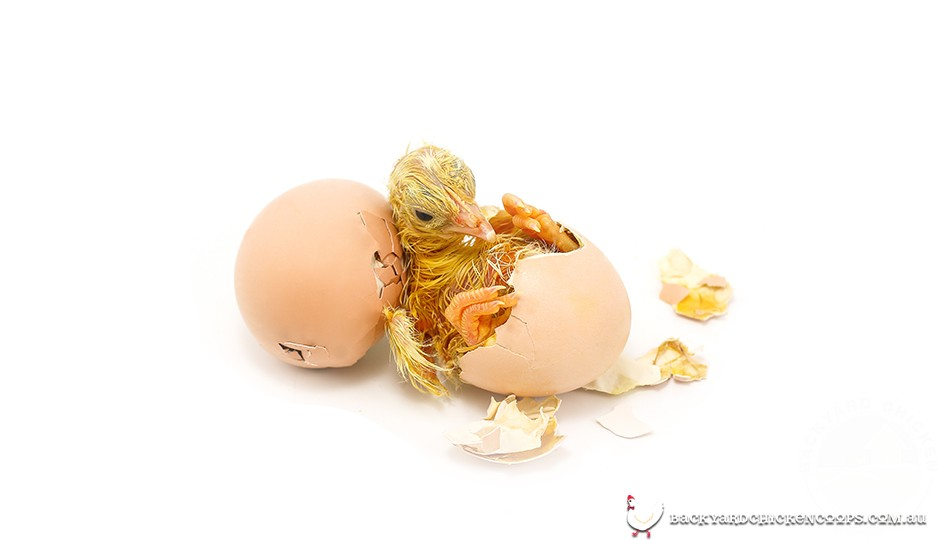 Baby chicken hatching from egg