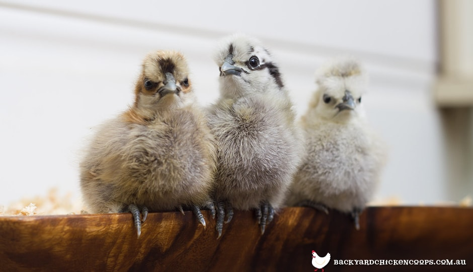 The First 60 Days Of A Baby Chicken's Life