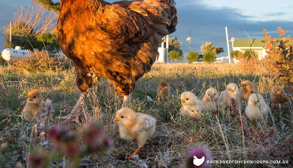 baby-chickens-love-to-explore-together