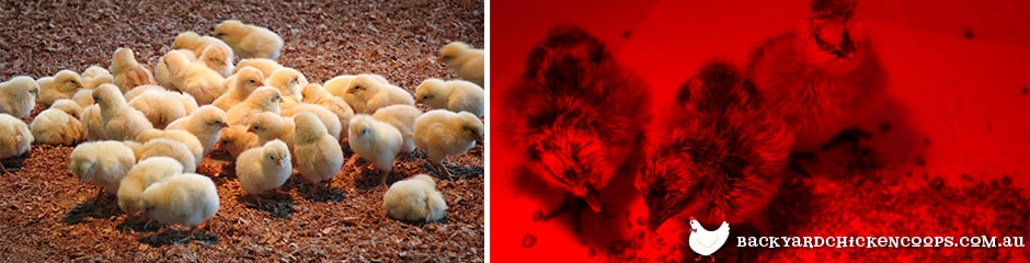 baby chicks in a heated brooder