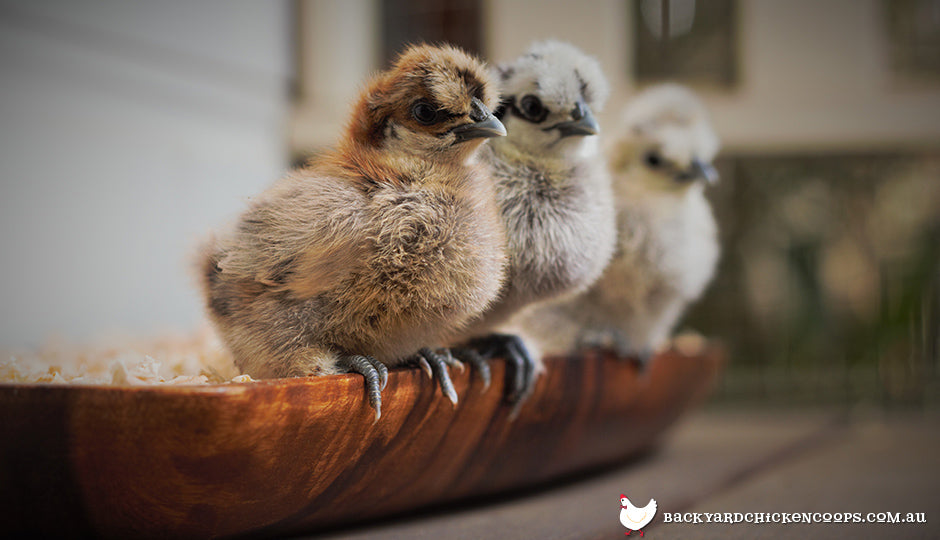Adorable baby silkie chicks perching on the edge of their feed