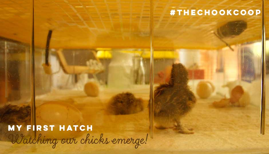 baby silkie chicks hatching in incubator