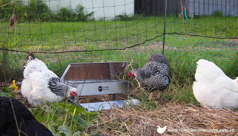 backyard chooks with treadle chicken feeder and poultry fencing