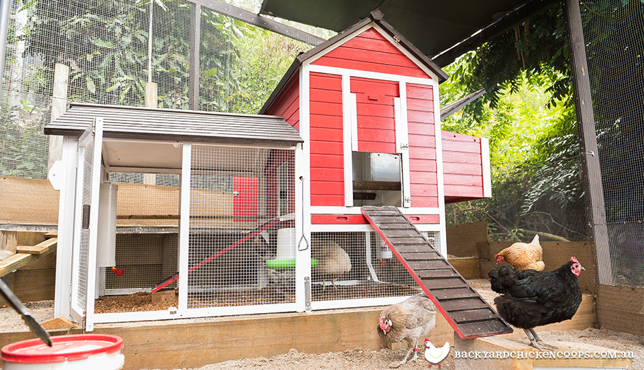 backyard pet chickens in chicken run near coop