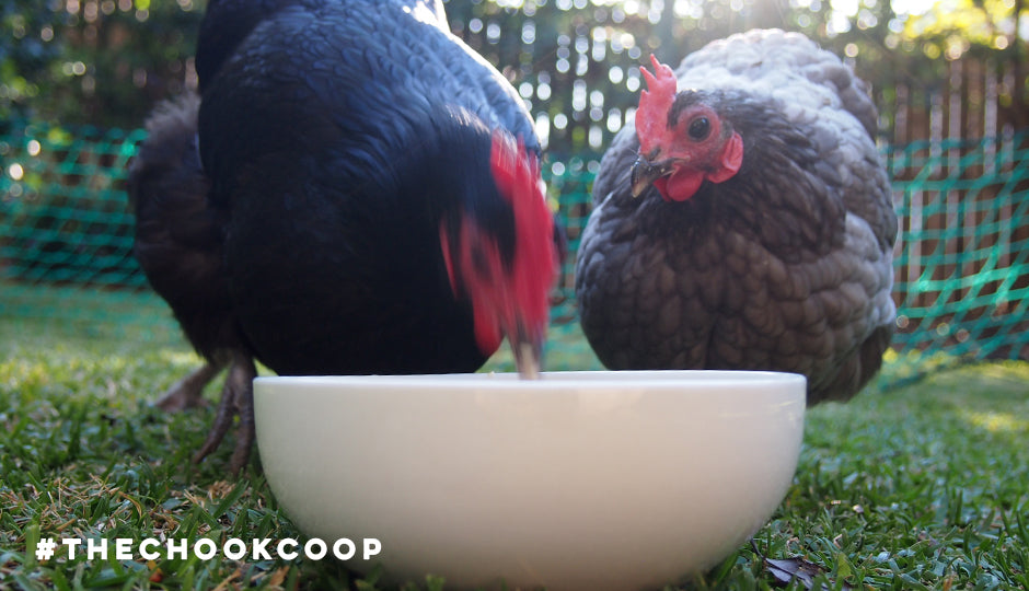 bantam australorps eating porridge in backyard