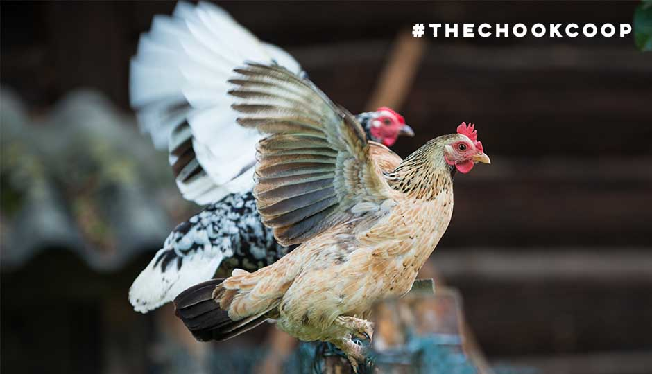 bantam-chickens-flapping-wings