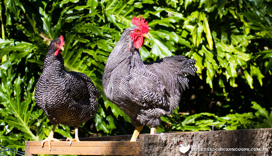 What Are Sex Link Chickens?