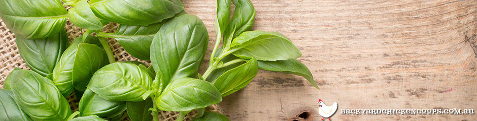 basil-is-a-top-plant-to-grow-in-spring