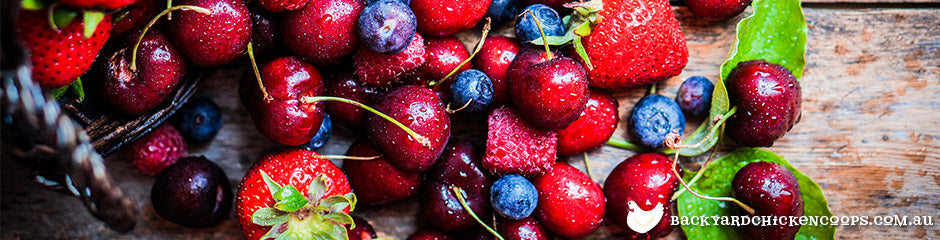 berries-are-a-favourite-chicken-treat
