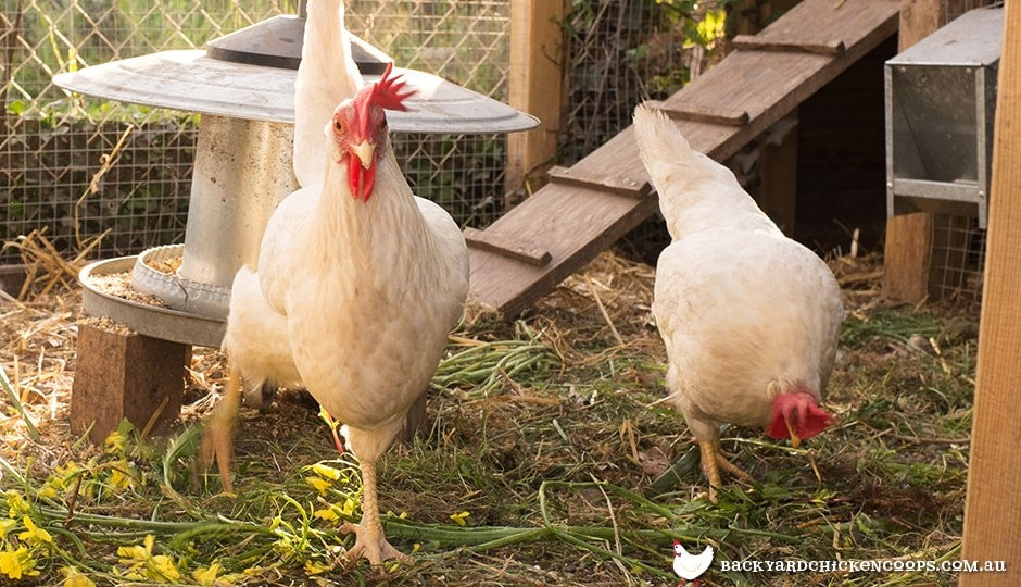 leghorn chickens foraging in chicken run