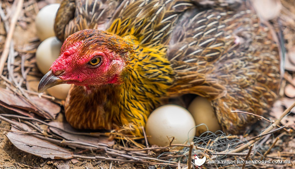 Broody hens can be quite protective of their clutch of eggs