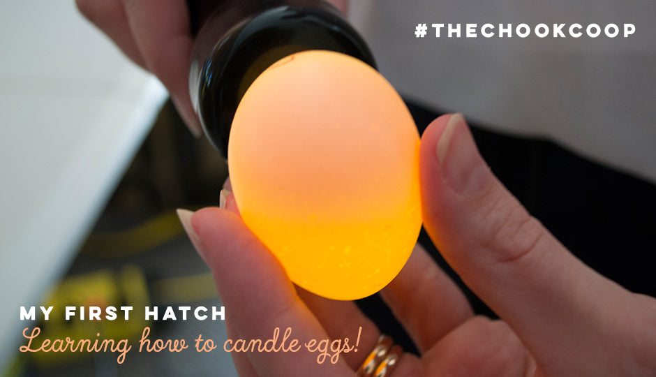 candling a silkie chick egg