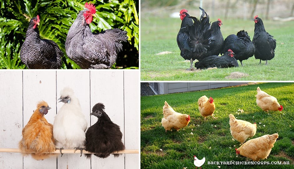 chicken-breeds-that-are-happy-with-small-space