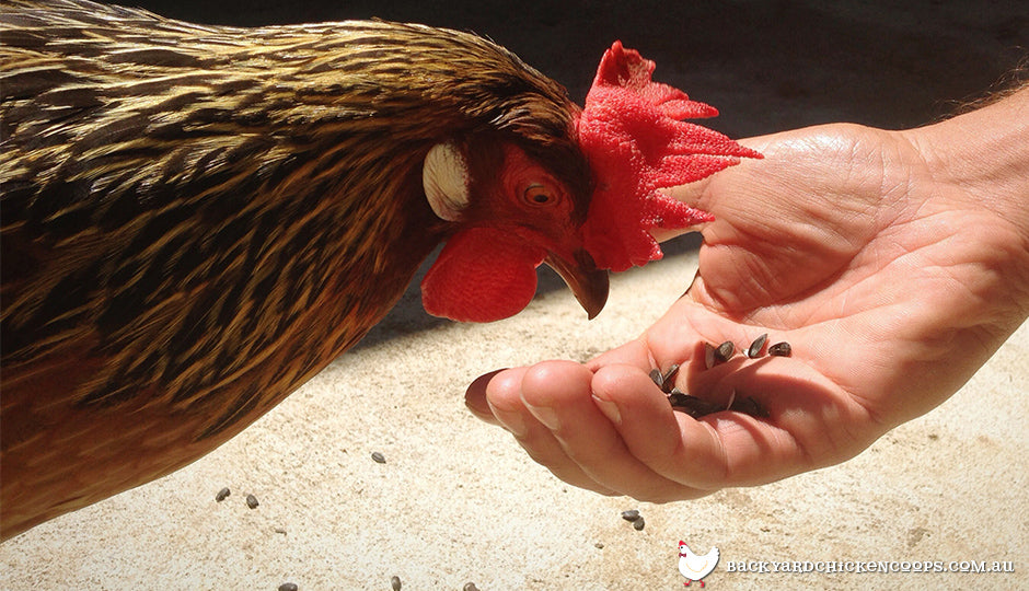 Chicken eating feed from hand