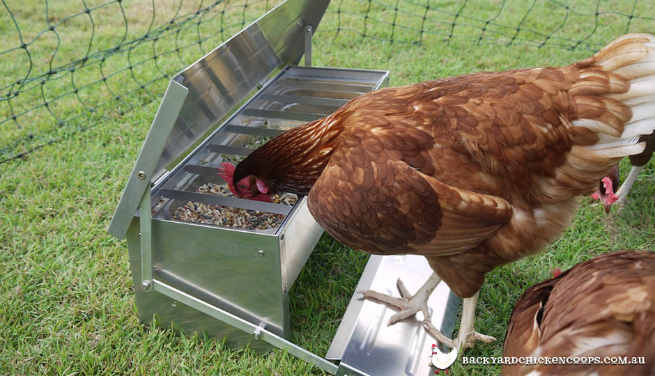 chicken eating from treadle feeder