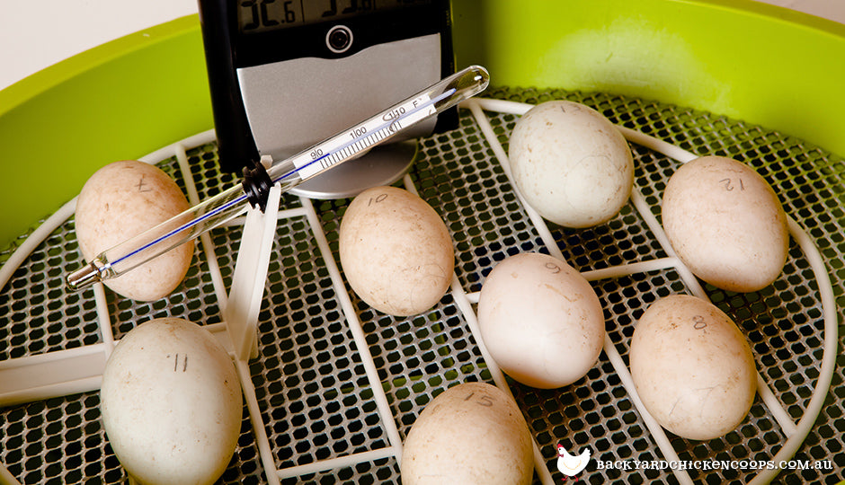 Fertilised chicken eggs in incubator with thermometer