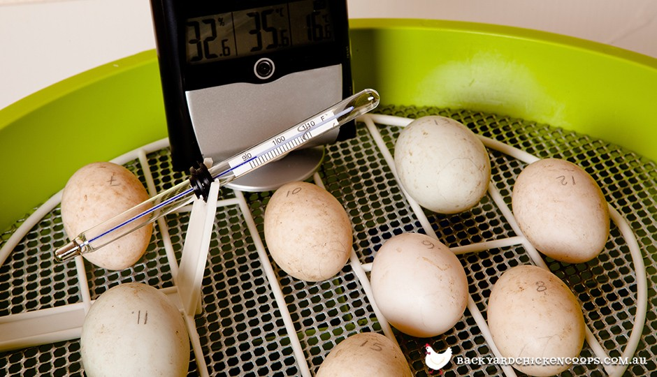 Chicken eggs in incubator with thermometer
