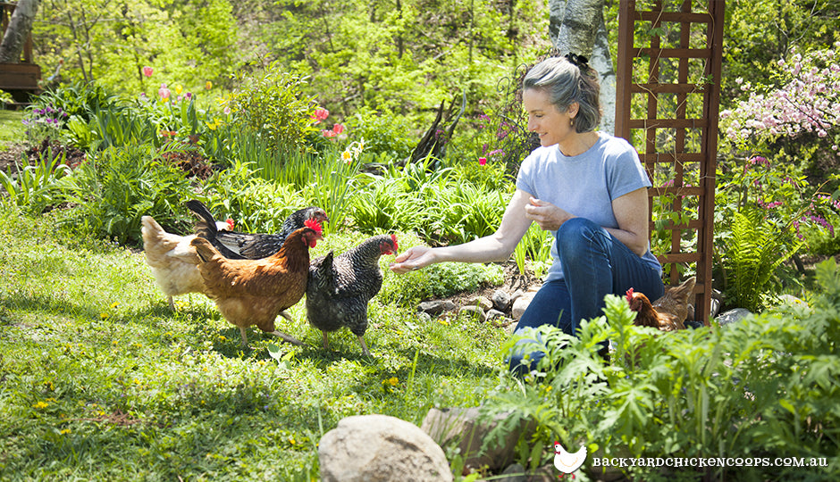 Chicken keeper hand feeding her backyard flock