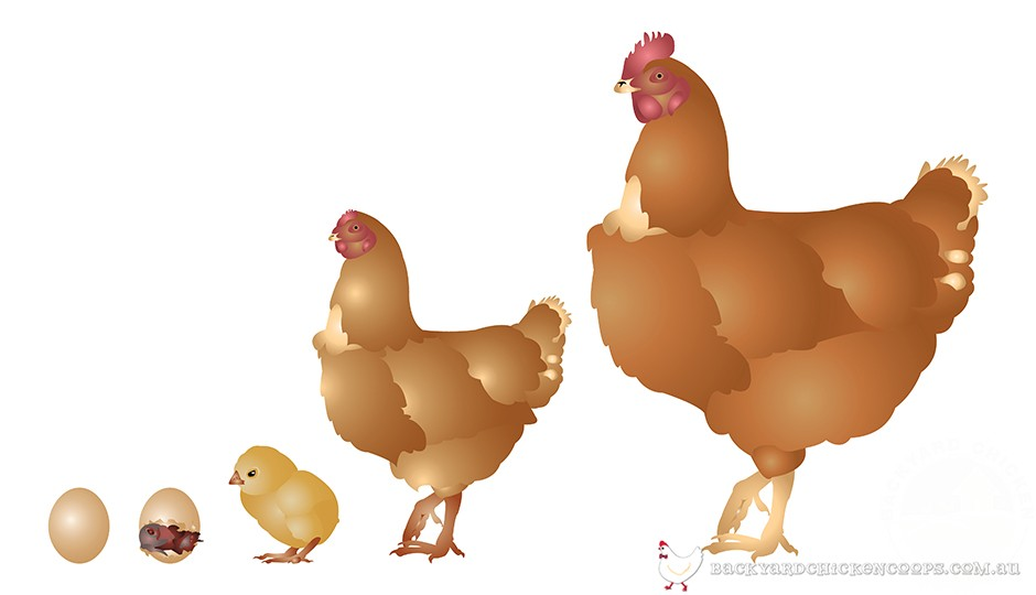 graphic showing the life cycle of chickens