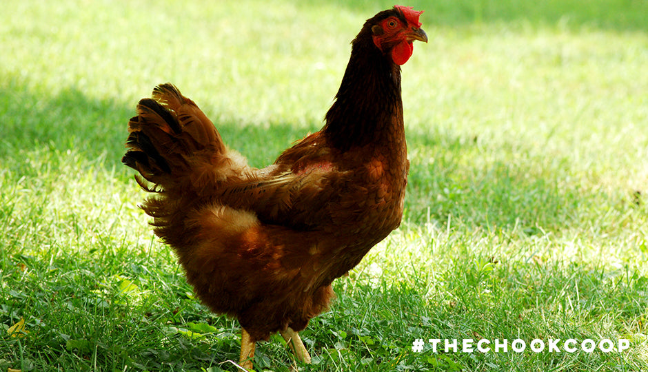 chicken losing feathers moulting season