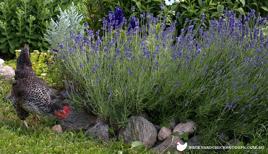 Spring Chicken Gardening - Poultry Forage Planting Guide