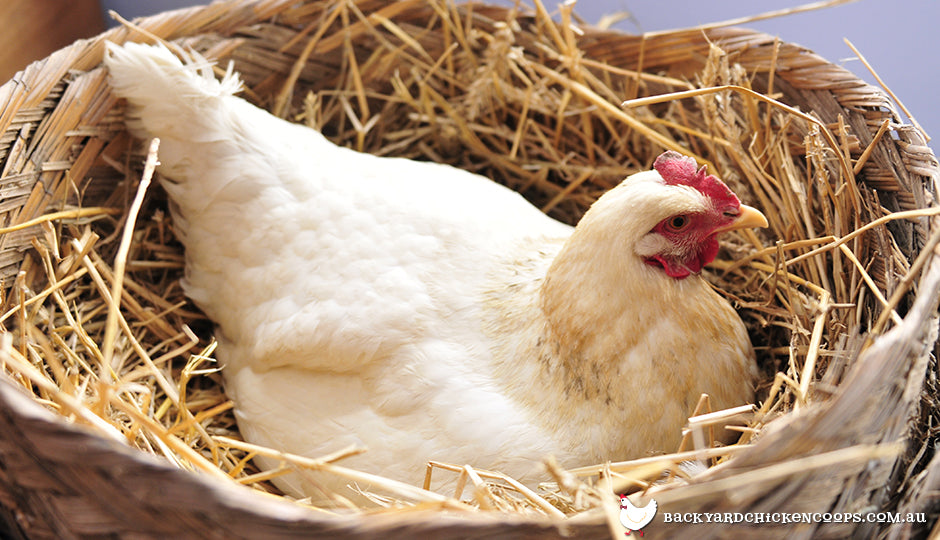 A broody chicken sitting on eggs on straw