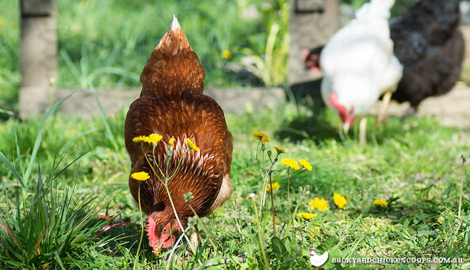 chickens-are-happy-pest-and-weed-eaters