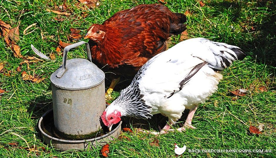 Chickens drinking water from drinker