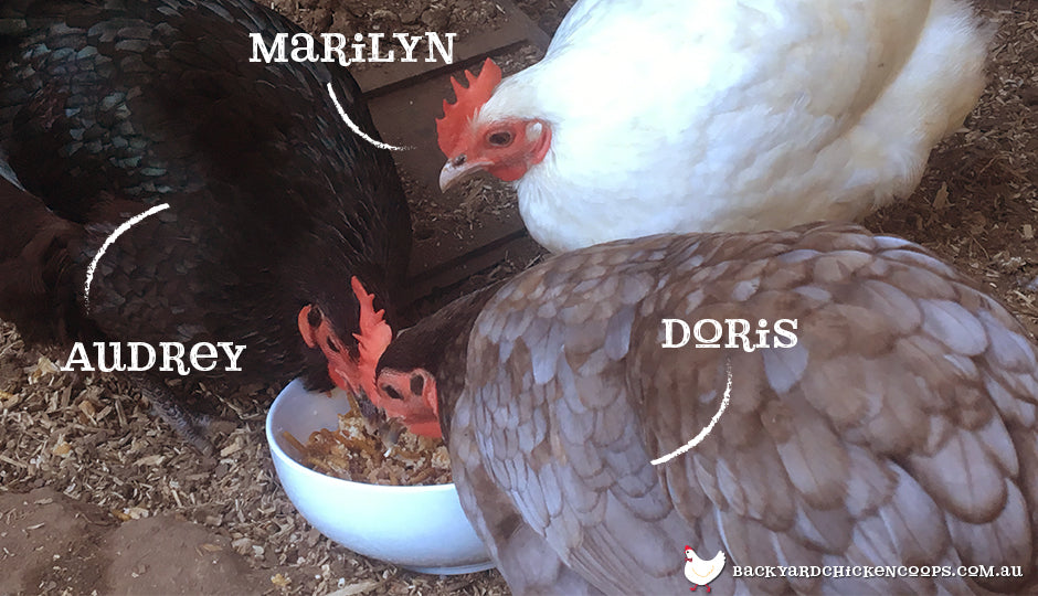Chickens eating anzac crumble protein mix