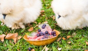 chickens-eating-frozen-berries