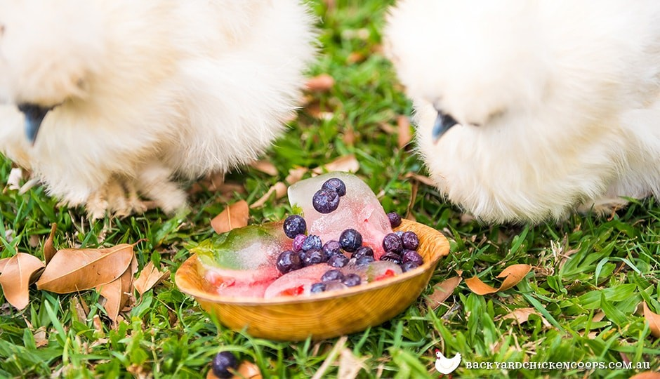 frozen berries and watermelon keep silkie chickens cool in summer