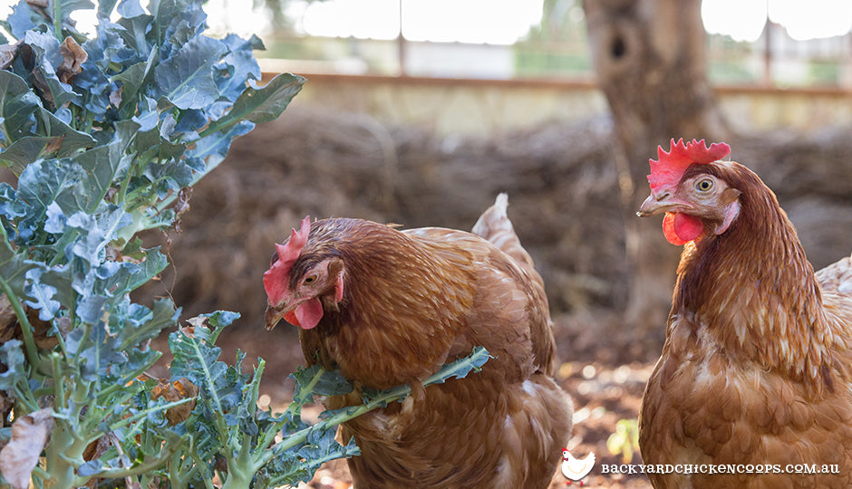 chickens eating leafy greens in backyard