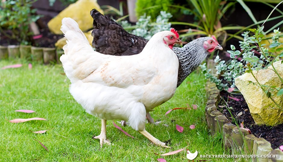 chickens-foraging-in-backyard-garden