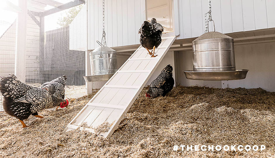 chickens in mansion coop with hemp bedding