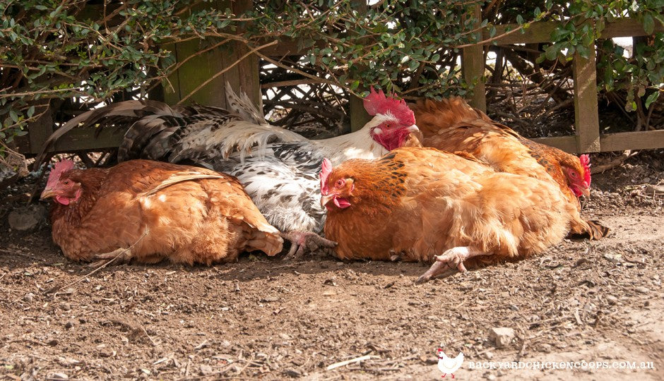 chickens staying cool in the shade on a hot day