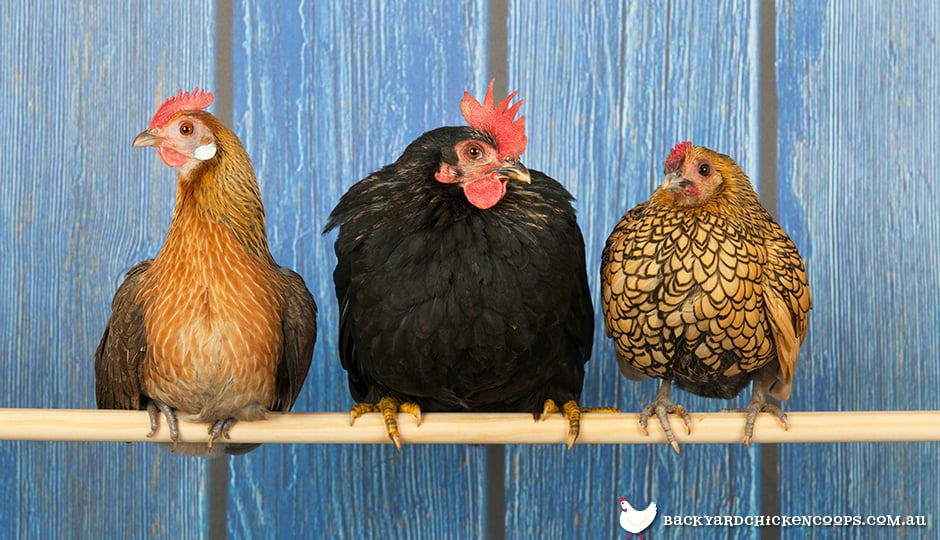 These chickens are enjoying their roosting perch