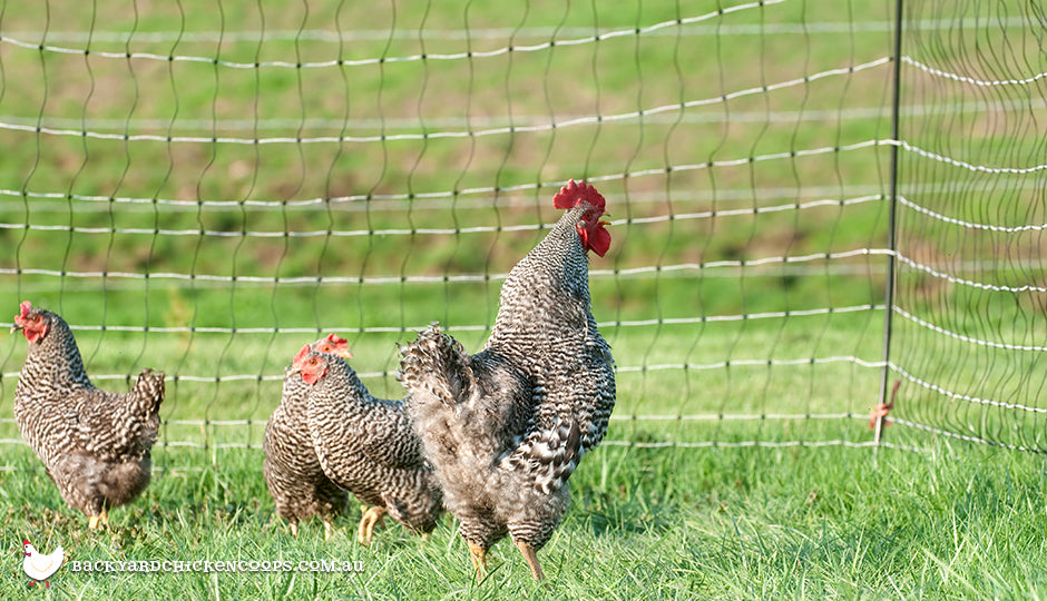 chicken flock with electric poultry fencing