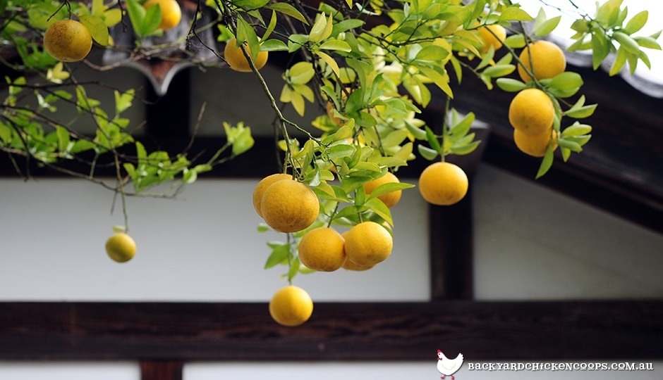 citrus-tree-in-backyard
