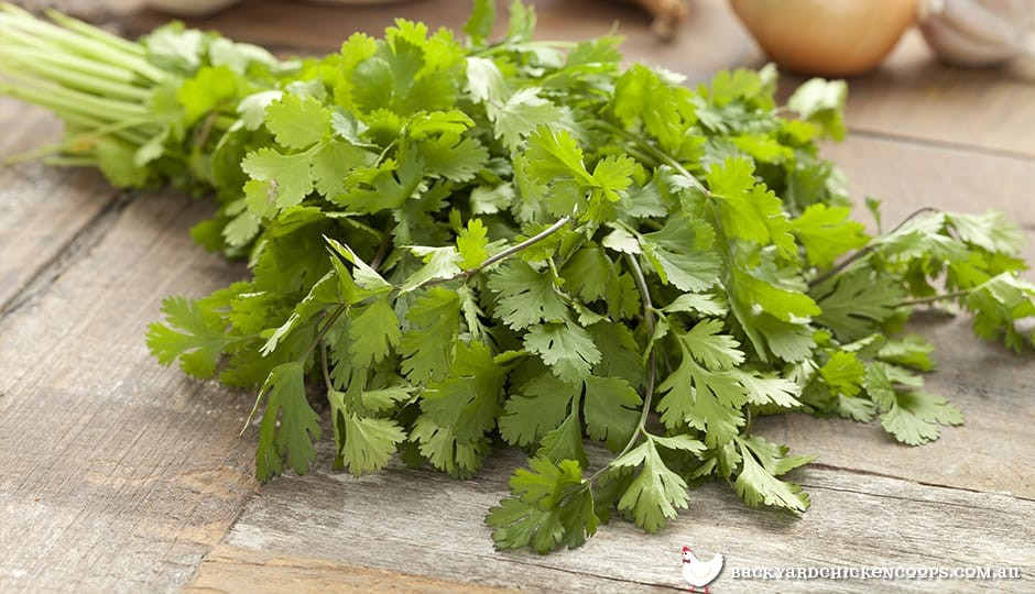 bundle of coriander leaves and stalks