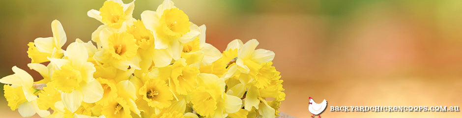 daffodils-are-top-flowers-to-grow-in-spring