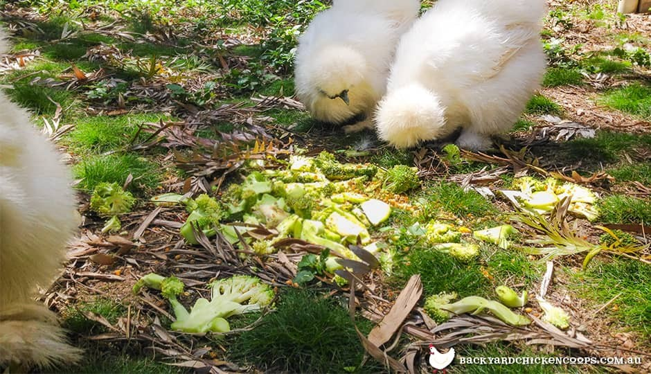 silkie chickens snacking on some broccoli